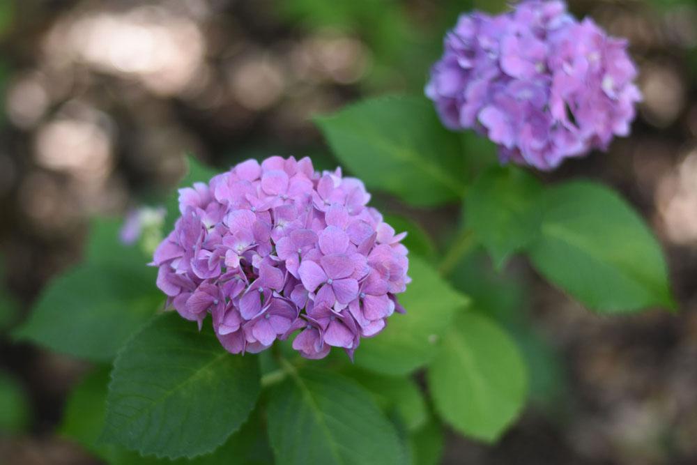 単焦点レンズの紫陽花